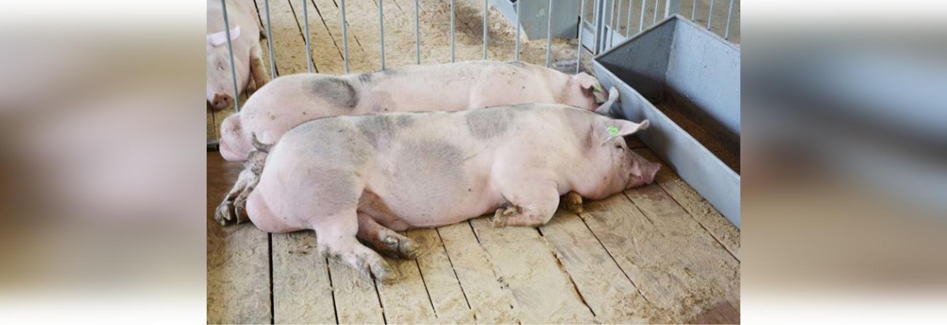 Subvention de 3 M$ pour faire la lumière sur le virus porcin