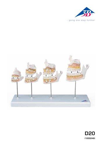 D20 Évolution de la dentition